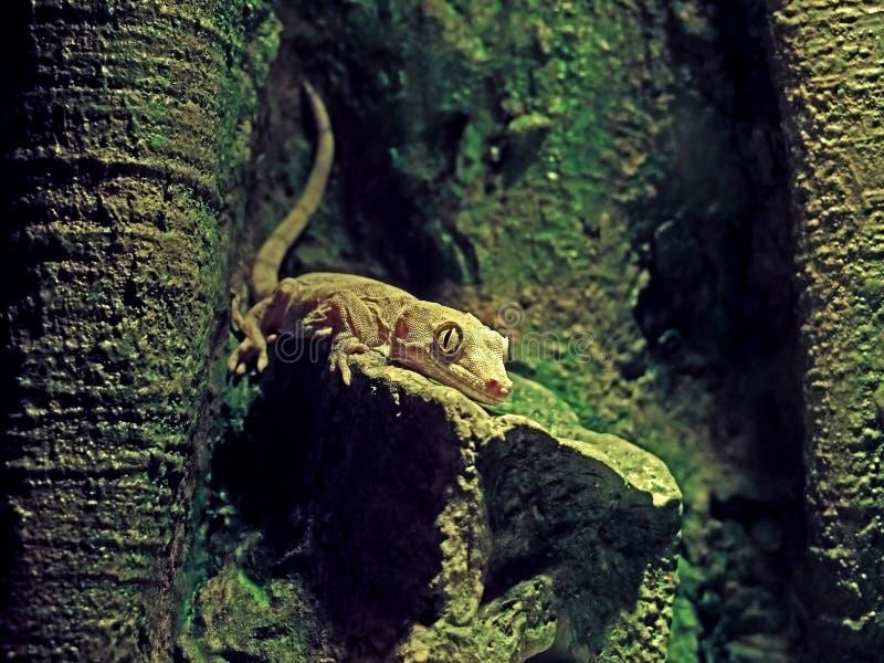Baby-Gecko mit Haube oder Correlophus Ciliatus in der Höhle stockbilder