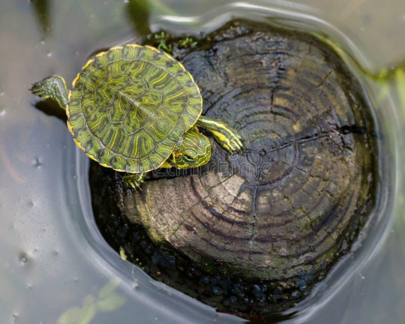 Baby geschilderde schildpad royalty-vrije stock afbeelding