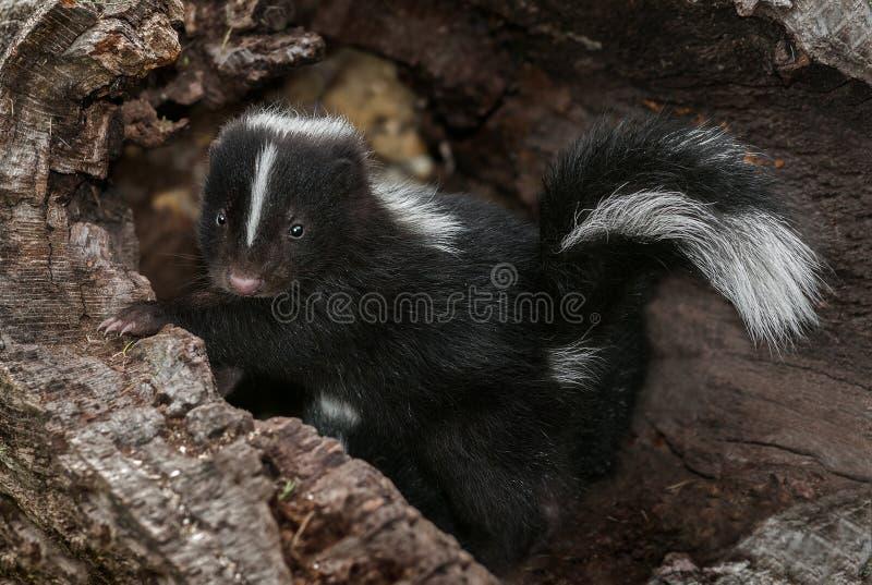 Baby Gestreept Stinkdier (Mephitis-mephitis) in Logboek stock foto's