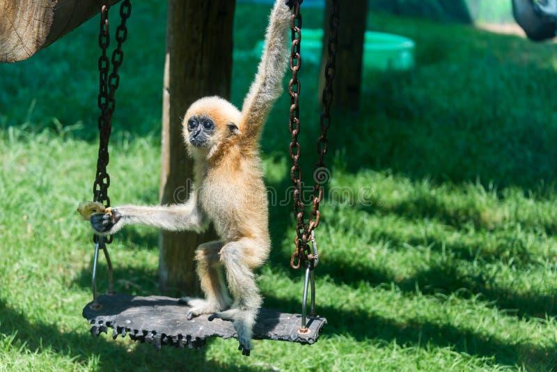Baby Gibbon in Hay Park in Kiryat Motzkin, Israël royalty-vrije stock foto's