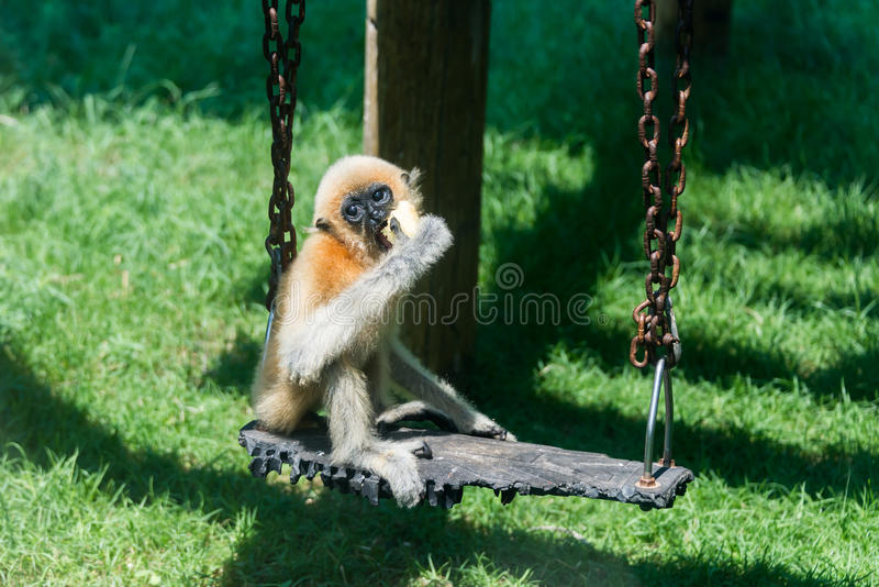 Baby Gibbon in Hay Park in Kiryat Motzkin, Israël stock afbeeldingen