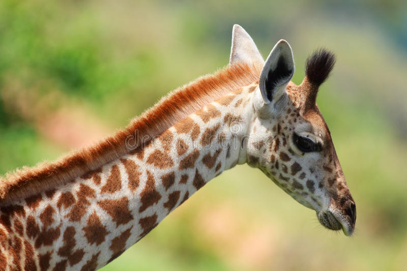 Download Baby giraffe stock photo. Image of portrait, nature, animal - 14091288