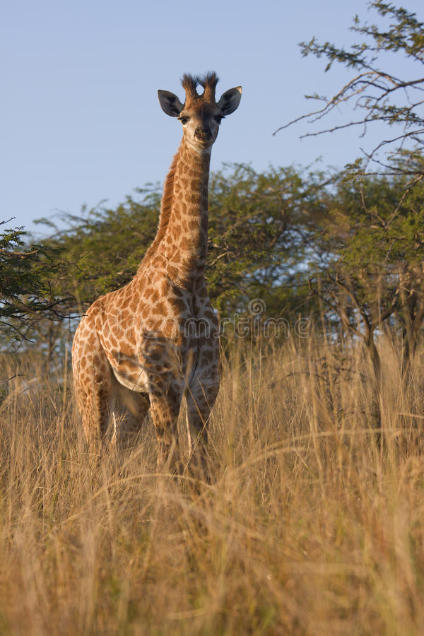 Baby Giraffe. Stands in the african bush royalty free stock photo