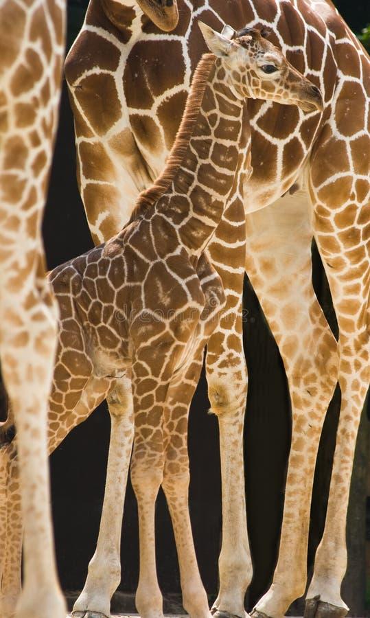 Baby giraffe. New born baby giraffe standing between the long legs of his family stock image