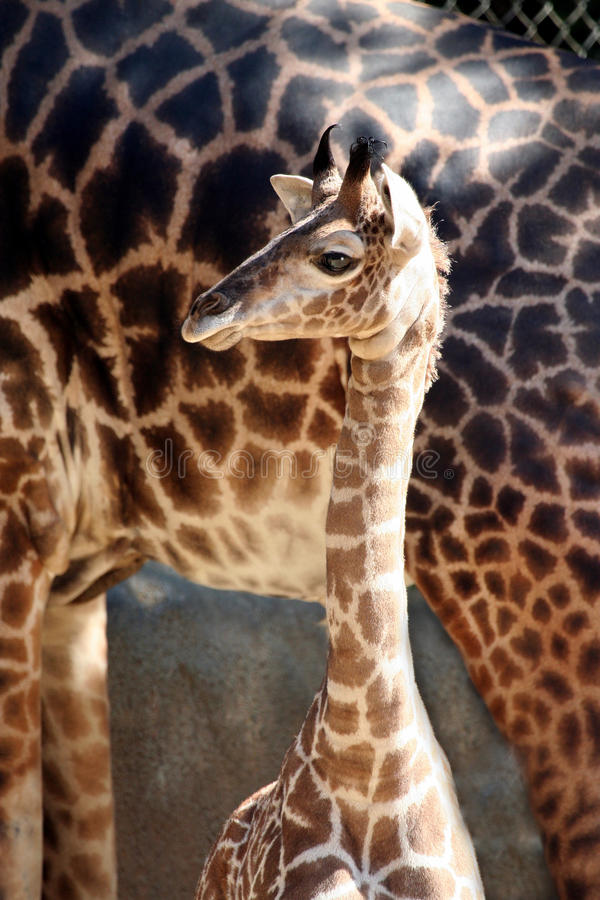 Baby Giraffe. With His Mom stock photography