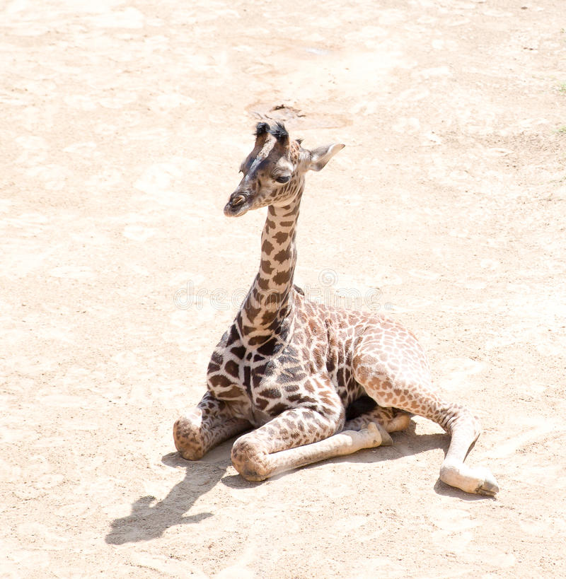 Baby Giraffe. Basking in the sun royalty free stock photography