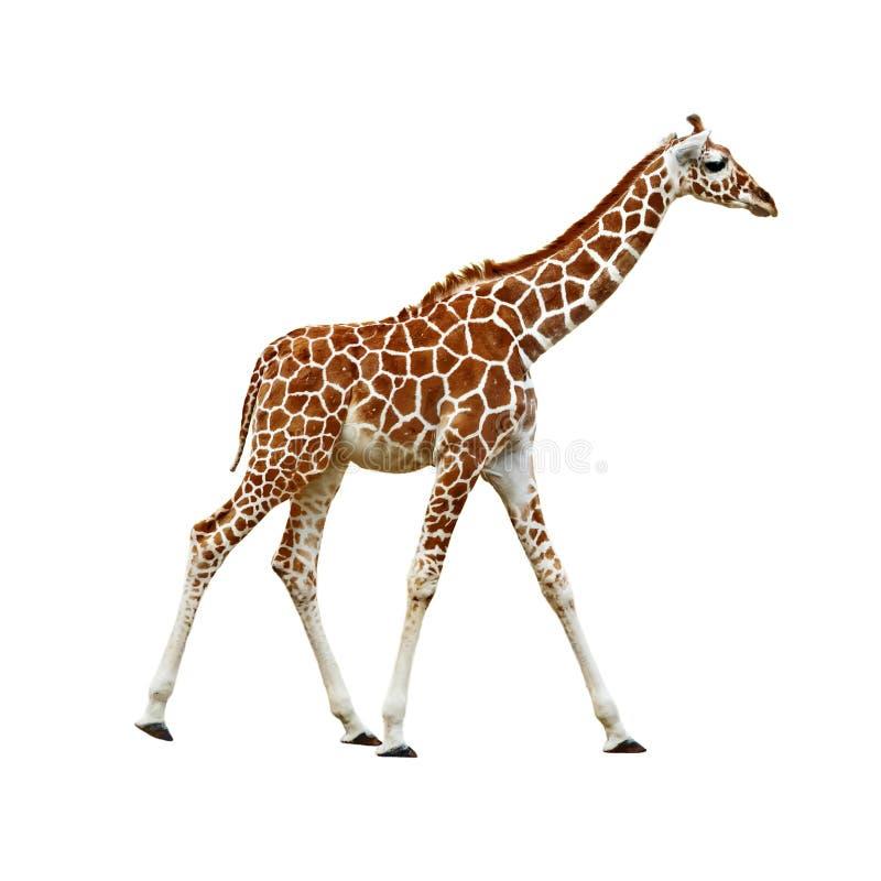 Baby Giraffe isolated. Adorable baby Giraffe walking isolated royalty free stock image
