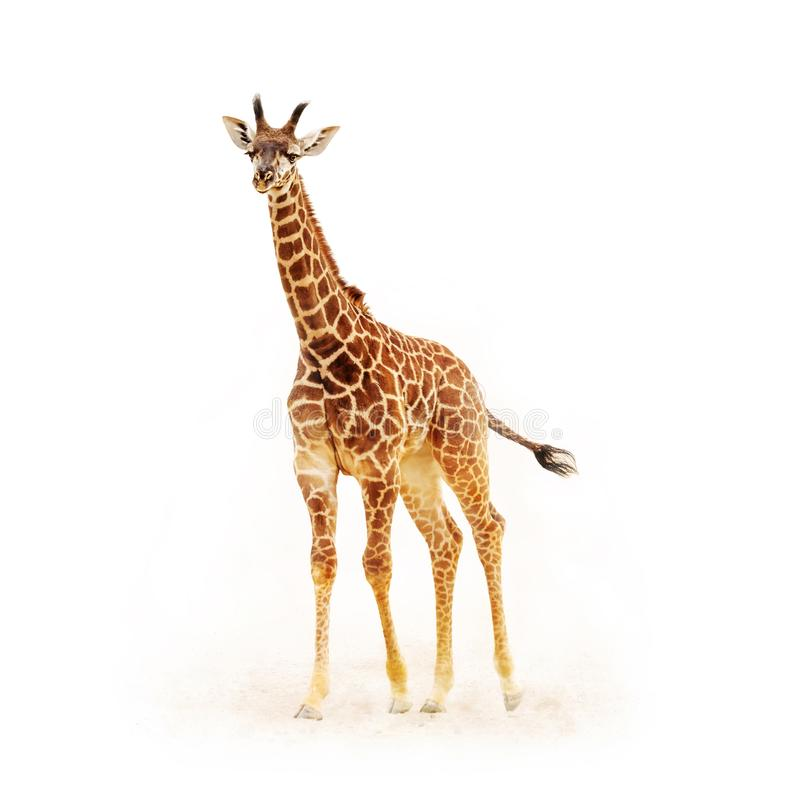 Baby Giraffe Isolated on White. With dust and dirt. Square crop stock images