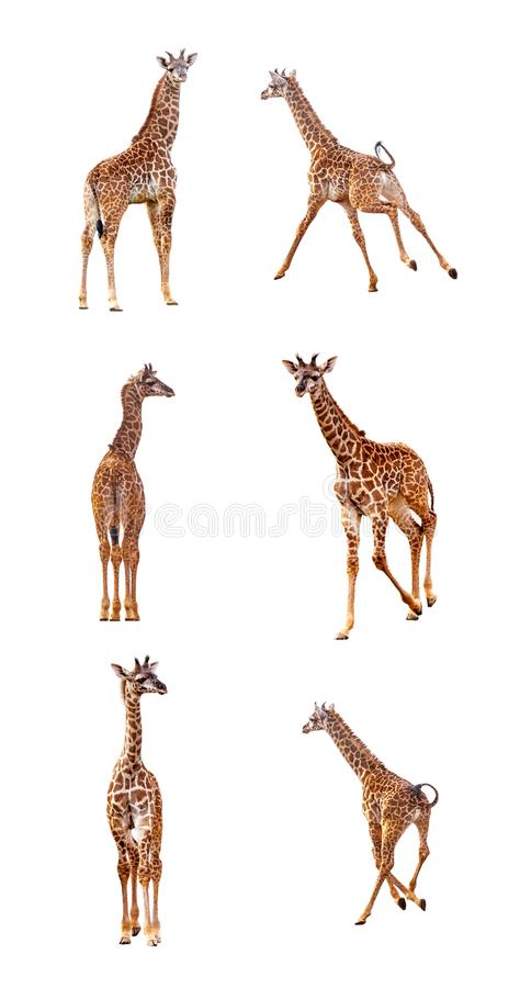 Baby Giraffe in Various Positions on White royalty free stock photos