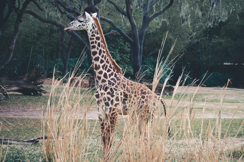 Baby Giraffe in the wild in South Florida royalty free stock photos