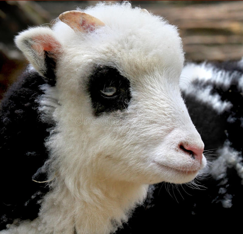 Baby Goat stock photos