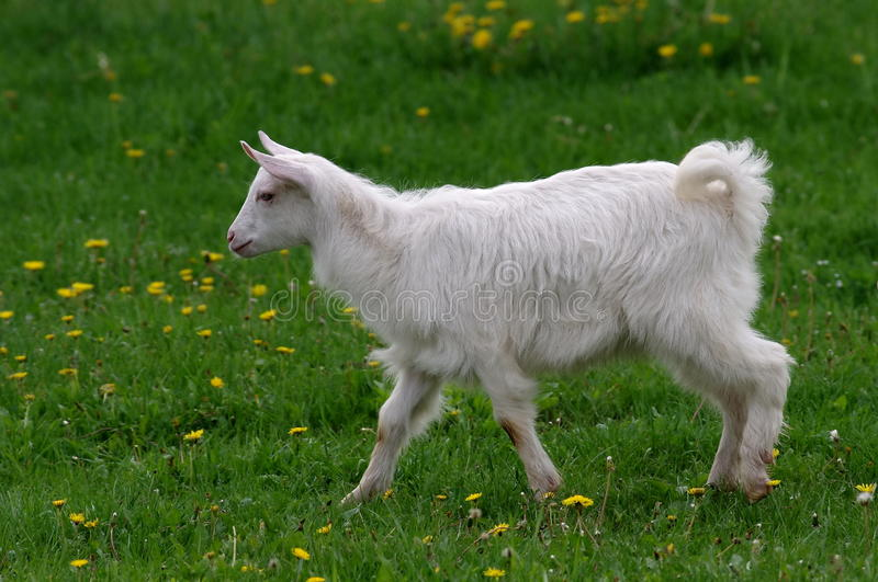 Download Baby goat stock photo. Image of domestic, grass, chese - 24747282