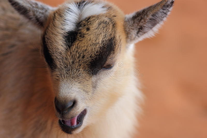 Download Baby Goat stock image. Image of young, agriculture, domestic - 29001019