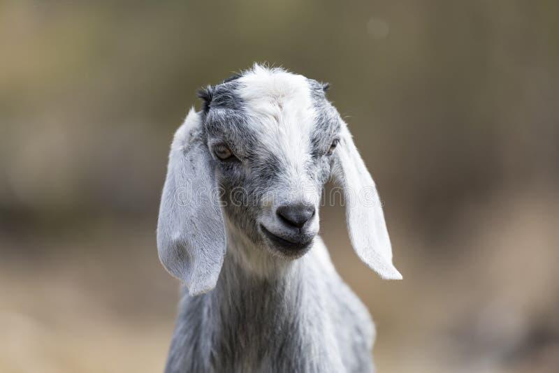 Beautiful Cute Baby Goat Pokhara Nepal royalty free stock photography