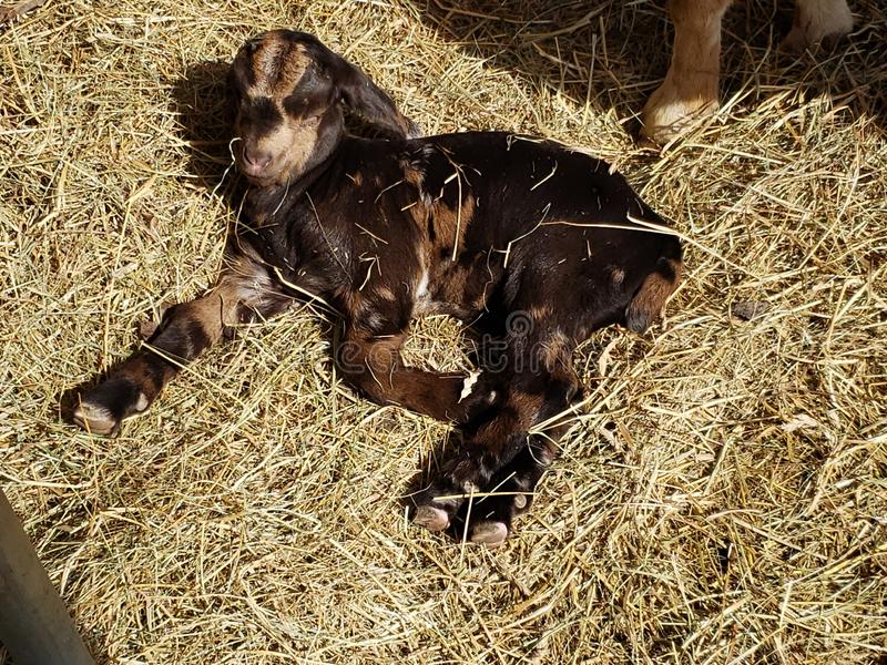 Baby Goat Laying in Hay Animal stock foto