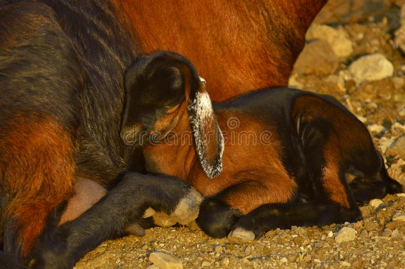 Baby goat sitting with her mother near Pune, Maharashtra, India. Baby goat sitting with her mother near Pune, Maharashtra, India royalty free stock photo