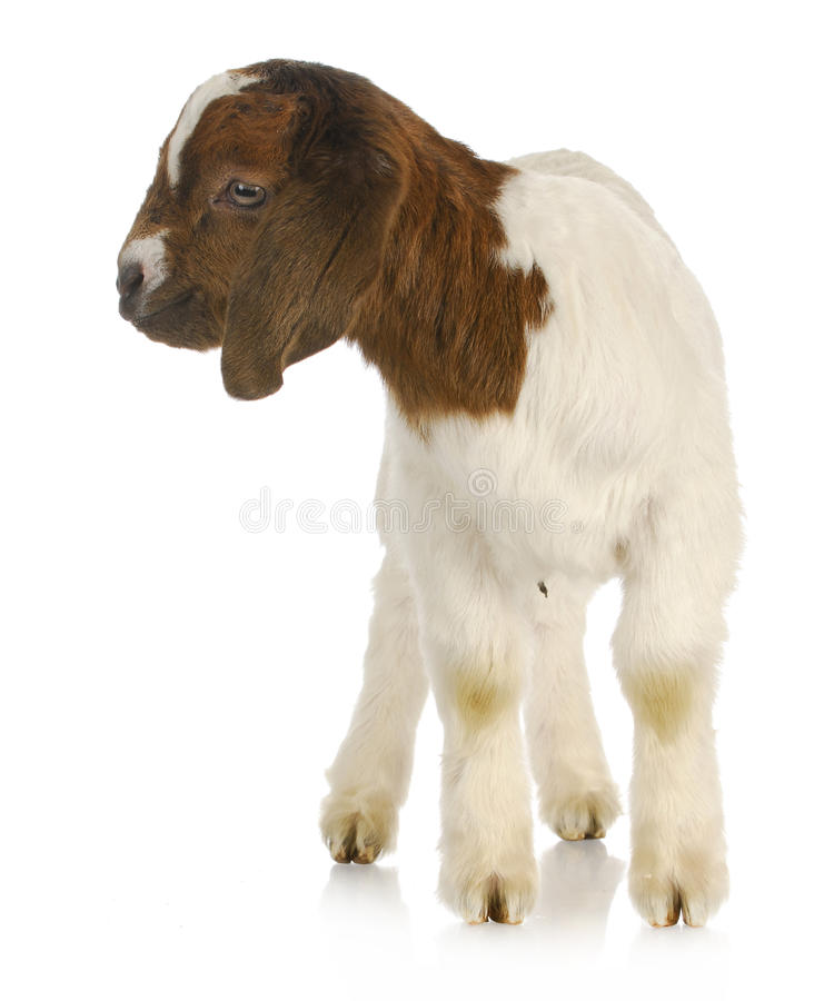 Download Baby goat standing stock image. Image of domestic, standing - 27202435