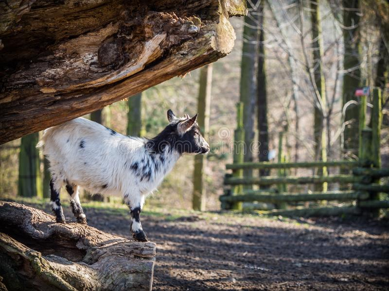 Baby goat standing on a tree trunk stock image