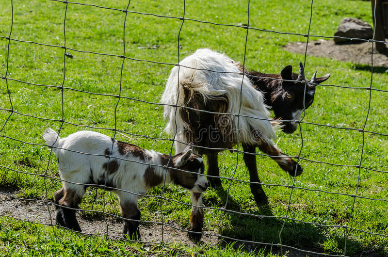 baby goat in zoo royalty free stock photography