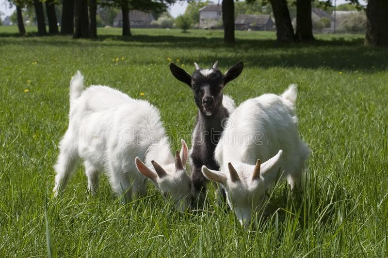 Download Baby goats stock photo. Image of cute, grass, farm, nature - 6312886