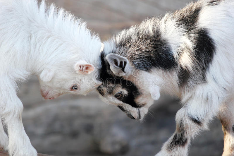 Baby Goats Heads. Two baby goats settle their differences with a game of head butting. Focus on eyes of goats royalty free stock photo