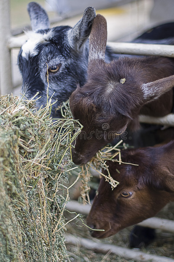 Baby Goats Eating