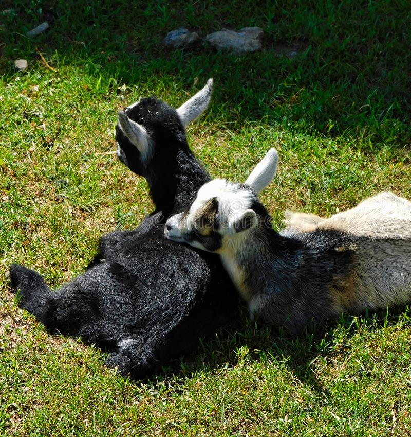 Baby goats resting in the sun royalty free stock image