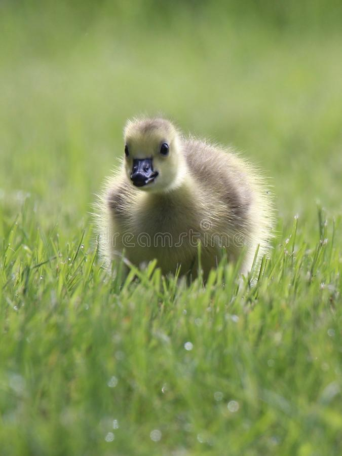 Baby Goose. A baby Canada Goose in a green meadow