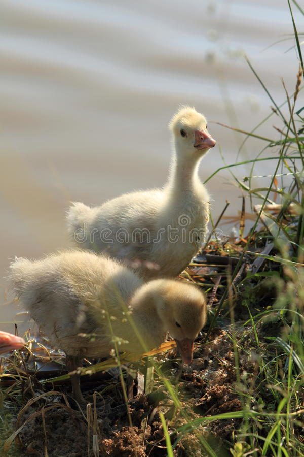Baby goose near lake stock images