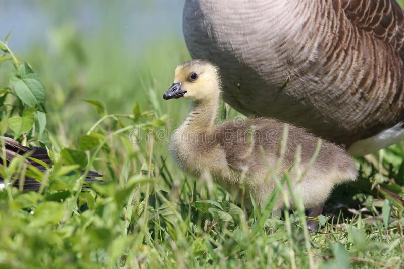Baby Goose Standing in The Grass royalty free stock photo
