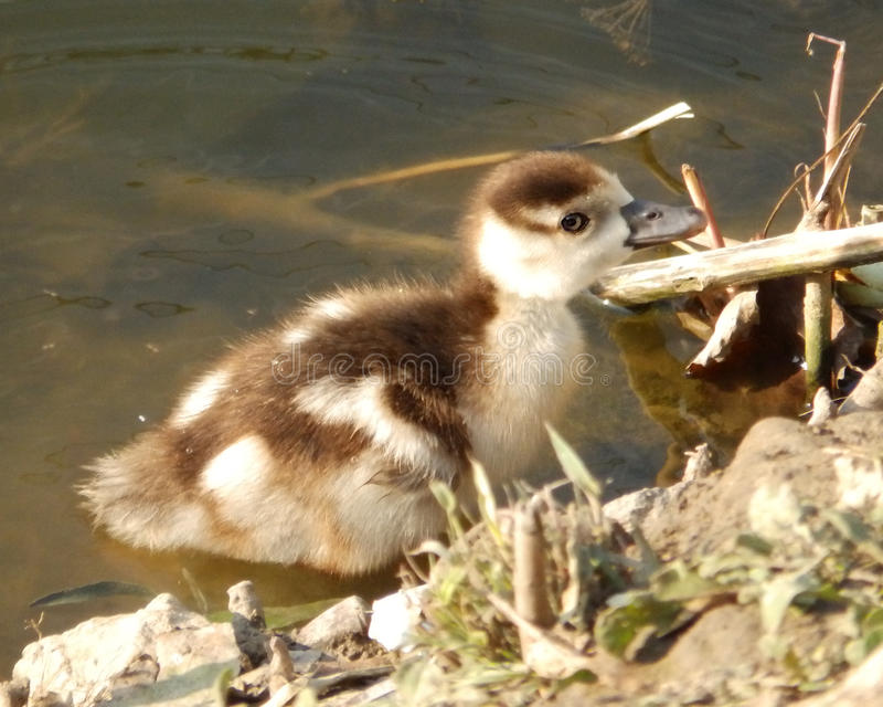 Baby goose royalty free stock images