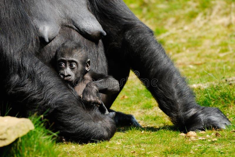 Baby gorilla stock photo