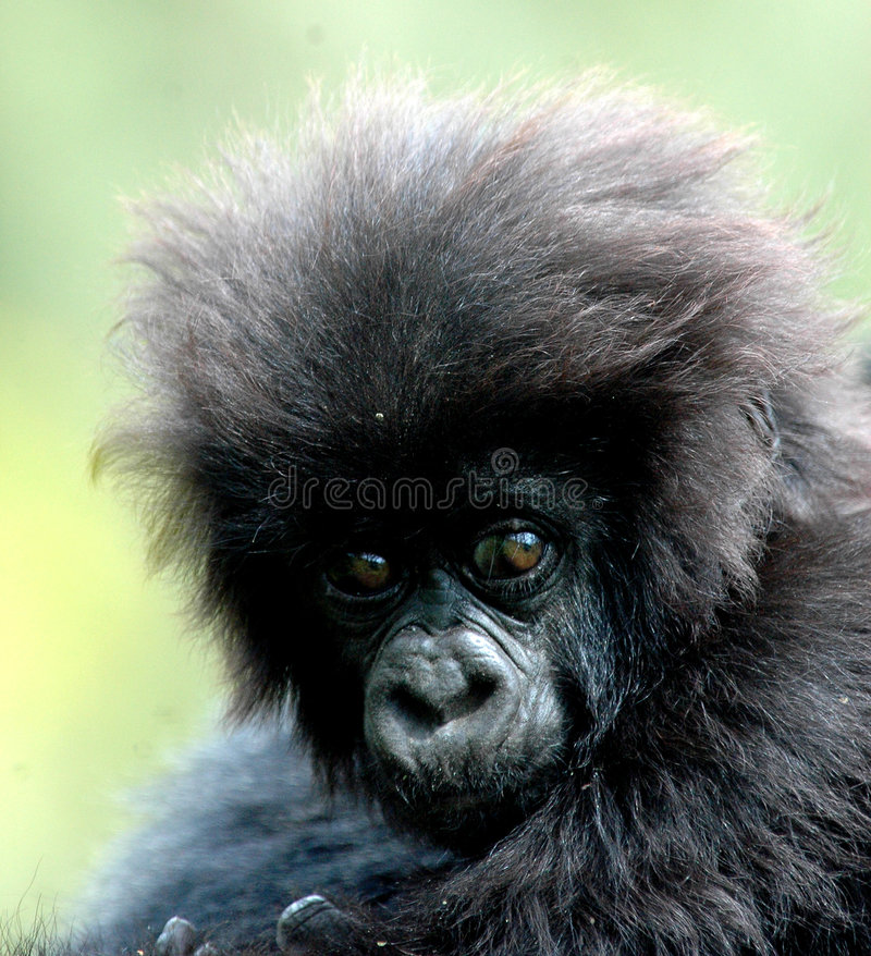 Baby gorilla royalty free stock images