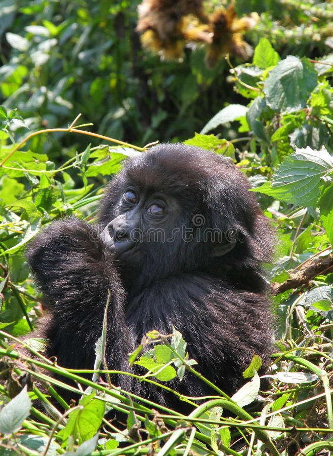 Baby Gorilla stock images