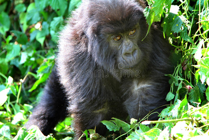 Baby Gorilla stock image