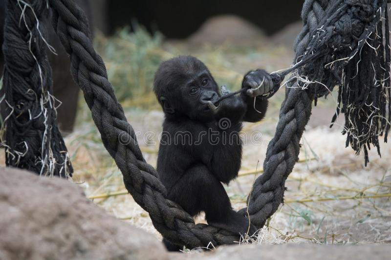 Baby gorilla playing in a zoo stock photography