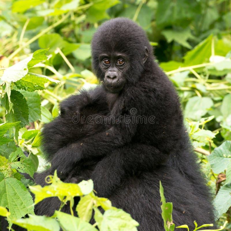 Gorilla Baby on mum`s back in mountain rainforest of Bwindi Impenetrable Forest Nationalpark, Uganda royalty free stock photography