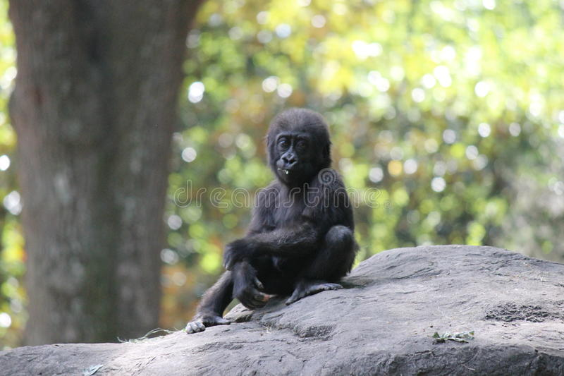 Baby Gorilla. A small baby gorilla on rock in zoo exhibit stock photo