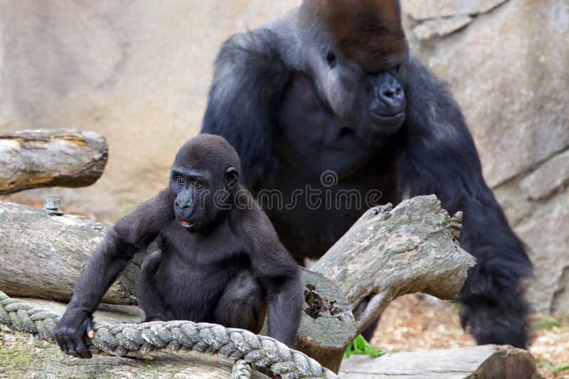 Baby Gorilla und Silverback lizenzfreies stockbild