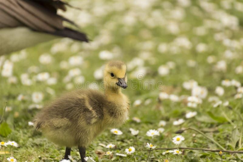 Baby Gosling, der herum sucht nach, was einen Ton machte lizenzfreies stockfoto