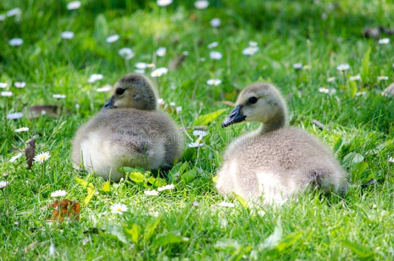 Baby goslings play stock photo