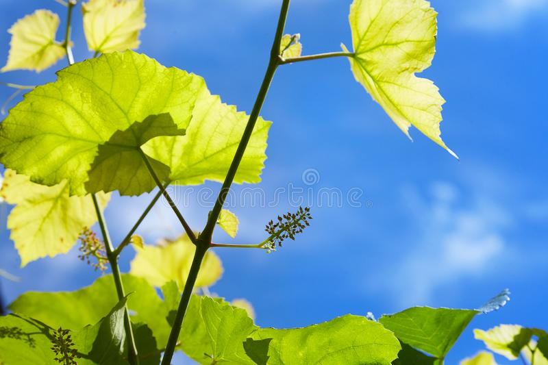 Baby Grapes. Closeup of view in beginning stage. Green flowers. stock images