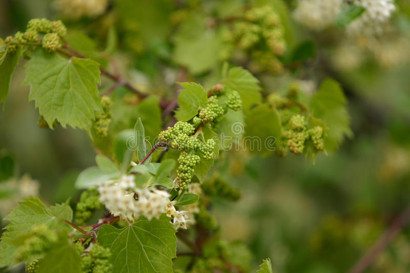 Baby Grapes. Shallow depth of field study of grapevines with baby grapes and flowers of a tree which supports the vines stock image
