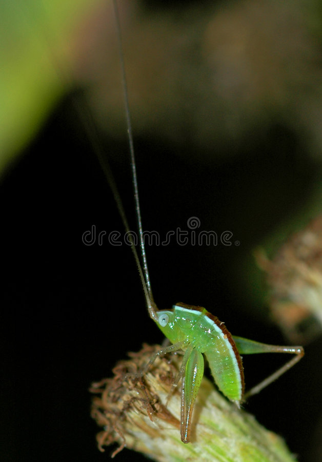 Baby grasshopper takes a bow. Baby grasshopper with extra long antenna bending over Contact stock image