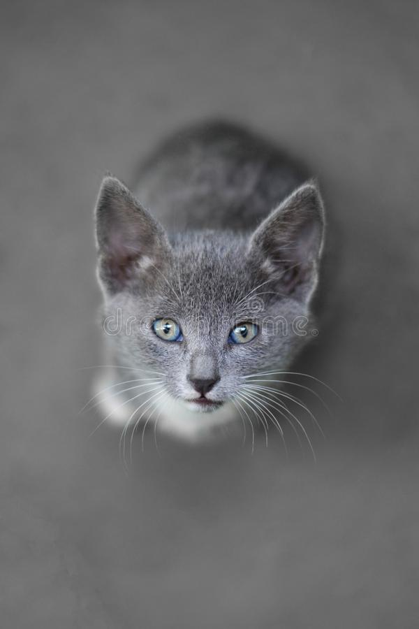 Baby gray cat look at lens. Blue eyes baby cat with gray skin looking at me with beautiful eyes royalty free stock images
