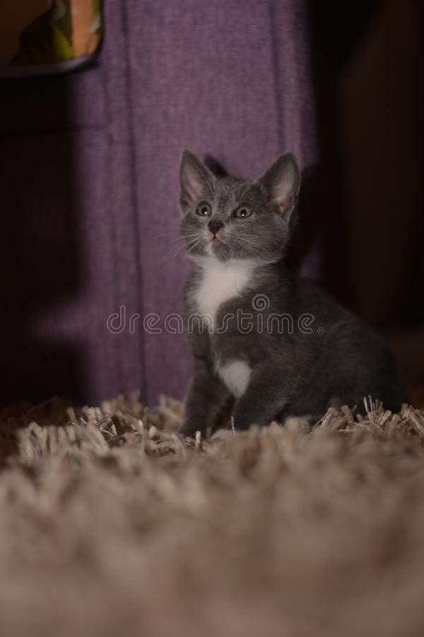 Gray baby cat looking scary. Baby gray cat looking scary at me at night stock images