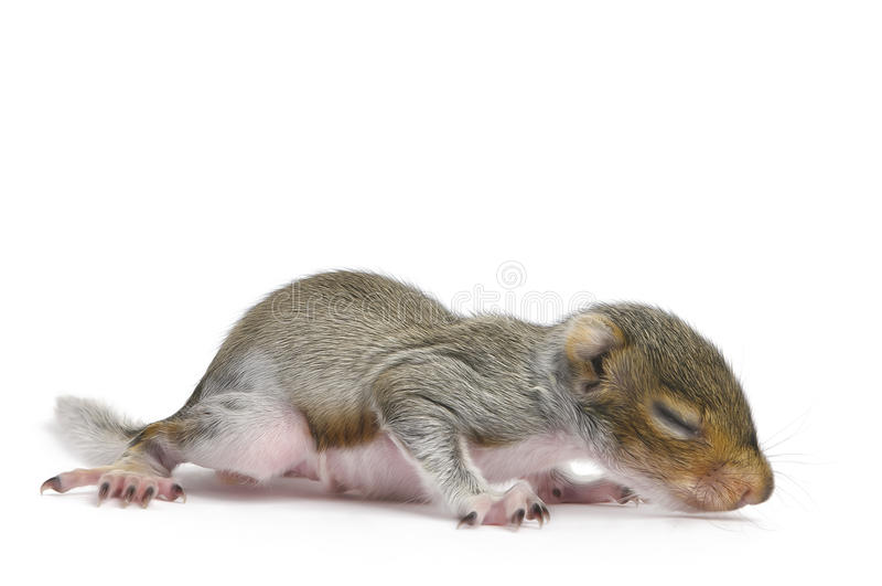 Baby Gray Squirrel - Sciurus Carolinensis royalty free stock photography