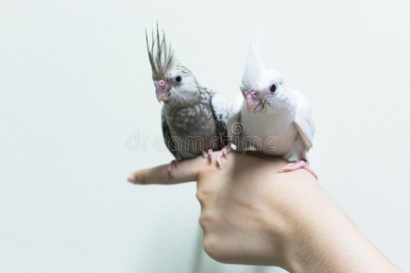 Baby gray and white cockatiel birds on finger female. royalty free stock images