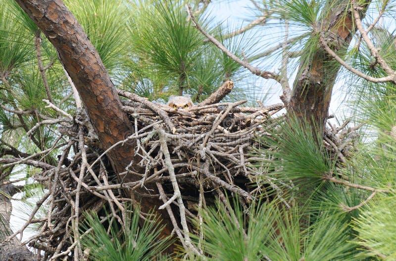 Baby Great Horned Owl - Bubo virginianus peekaboo stock photography