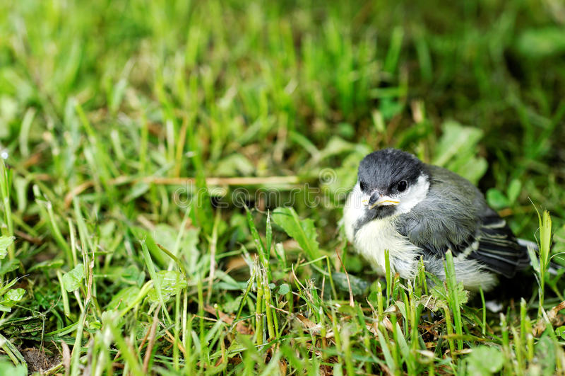 Download Baby Great Tit bird stock photo. Image of paridae, juvenile - 15471202